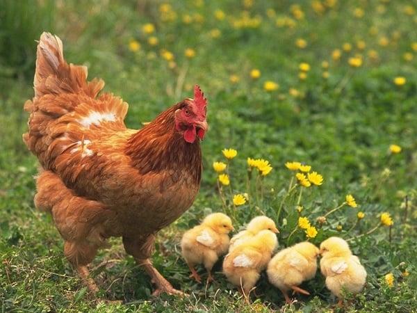 Mơ thấy gà điềm báo tốt hay xấu?